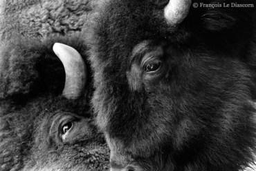 Ref ANX MAGIQUES 1 – Bisons, zoo d'Anvers, Belgique