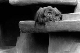 Ref ANX MAGIQUES 10 – Orang-outan, zoo de San Diego, Californie, USA