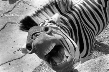 Ref ANX MAGIQUES 11 – Zèbre grimaçant, zoo d'Anvers, Belgique