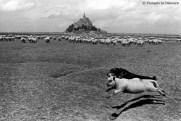 Ref ANX MAGIQUES 12 – Mouton et chien, Mont Saint-Michel