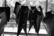 Ref ANX MAGIQUES 14 – Renards volants, zoo de Singapour
