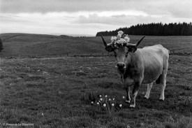 Ref ANX MAGIQUES 20 – Vache, Aubrac, France
