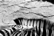 Ref ANX MAGIQUES 22 – Zèbre, zoo d'Anvers, Belgique