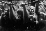 Ref ANX MAGIQUES 23 – Quatre orangs-outans, zoo de Singapour