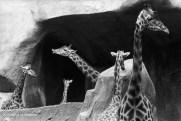 Ref ANX MAGIQUES 5 – Girafes, zoo de Vincennes, France
