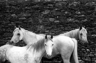 Ref ANX MAGIQUES 6 – Trois chevaux blancs, Killorglin, Irlande