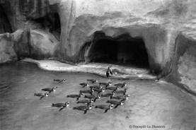 Ref ANX MAGIQUES 7 – Pingouins, zoo de Vncennes, France
