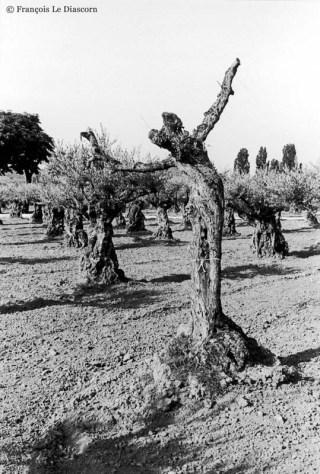Ref ARBRES 1 – Arbre dansant, olivier près de Nyons, Drôme, France
