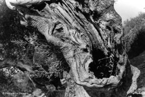 Ref ARBRES 10 – Olivier à forme humaine, île de Zante, Grèce