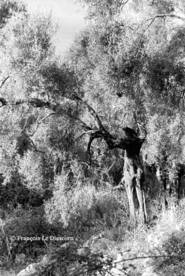 Ref ARBRES 12 – Olivier à forme humaine, île de Meganissi, Grèce