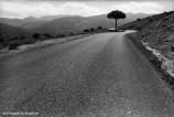Ref ARBRES 26 – Pin parasol au bord d'une route, Ronda, Andalousie