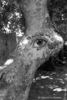 Ref ARBRES 6 – Arbre-Oeil, Grèce
