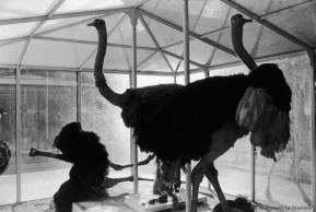 Ref Zoo 14 – Trois autruches dont l'une renversée