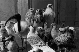 Ref Zoo 17 – Ibis, pigeons, buses, piverts en cours de restauration