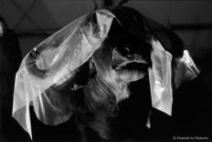 Ref Zoo 21 – Buffle protégé par une feuille de plastique après restauration
