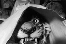 Ref Zoo 22 – Tigre protégé par une feuille de papier après restauration