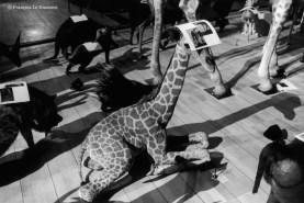 Ref Zoo 23 – Petite girafe avec une photo de deux dromadaires sur la tête