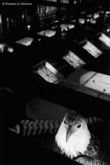 Ref Zoo 26 – Aigle royal devant les fenêtres à tabatière de la Grande Galerie