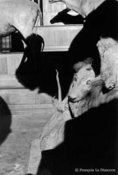 Ref Zoo 7 – Deux lions se battant et ombre de gazelle (Douanier Rousseau)