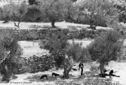 Ref Grèce 15 – Famille sous les oliviers, île de Karpathos