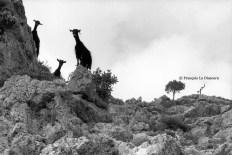 Ref Grèce 4 – Trois chèvres, île de Crète