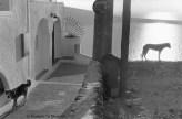 Ref Grèce 7 – Deux chiens, île de Santorin