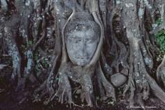Ref BOUDDHA 19 – Tête de Bouddha enracinée, Ayuthaya, Thaïlande