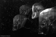 Ref CREATURES 11 – Poissons-hache ou Cordonnier Bossu (alectis alexandirinus), aquarium de Bâle, Suisse