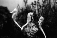 Ref CREATURES 3 – Hippocampes jaunes de profil, aquarium d'Amsterdam, Hollande