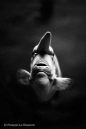 Ref CREATURES 9 – Le poisson-licorne, aquarium de l'Université de Tokyo, Japon